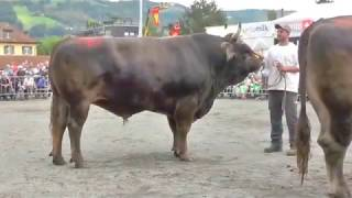 Download Stierenmarkt Zug 2017 Mister OB Video