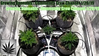 Download Growing Cannabis - Community Grow Channel 1-20-19 Video