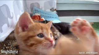 Download Captain Barracuda's kitten superpower is cuteness - TinyKittens Video