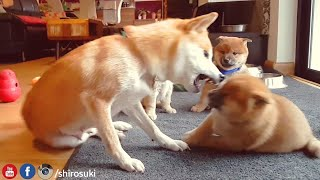 Download Mom needs spa day ASAP - MLIP / Ep 68 / Shiba Inu puppies Video