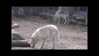 Download International Wolf Center - Update on the 17 April Medical Exams Video