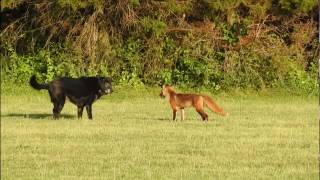 Download Fox vs Dog. Fox attack Dog. Real fight Video