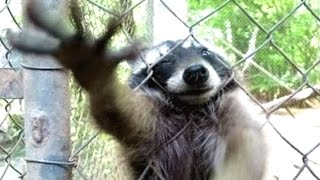 Download A Cute Raccoon And Funny Raccoon Videos Compilation || NEW HD Video