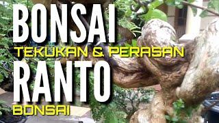 Download BONSAI TEKUKAN DAN PERASAN RANTO BONSAI Video