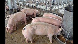 Download Kỹ thuật, kinh nghiệm phòng và trị dứt điểm bệnh tiêu chảy ở Lợn (Heo) Video
