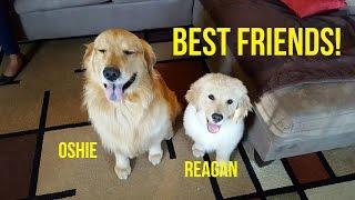 Download HAPPY GOLDEN RETRIEVER BFFs   Oshies World Video