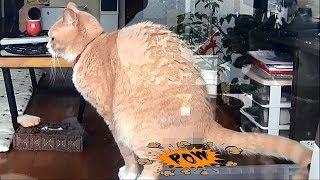 Download うんこドリルが流行ってますが、うんこしてる猫を盗撮してやった【猫日記こむぎ&だいず】2017.05.26 Video