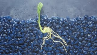 Download Time Lapse of Pea Shoot / Root Growth Video
