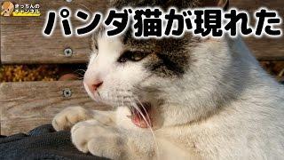 Download 【野良猫】パンダ猫が現れた【地域猫】 Video