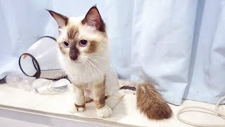 Download 猫咪患上猫传腹第16天:被剃毛的时候对医生实施了暴力攻击,奶凶奶凶的! Video
