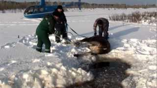 Download Спасение лосихи & 拯救麋鹿 & Saving the Moose Video