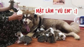 Download Chó Mật đòi tập làm mẹ , Alaska nuôi Corgi con - Male Dogs ==)) Video