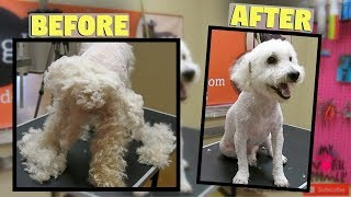 Download Really Matted Bichon Poodle Saved MUST WATCH Video