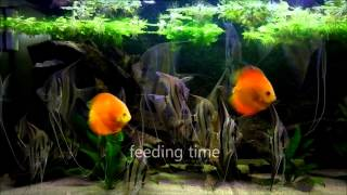 Download eMWu's Pterophyllum Altum and Discus fish aquarium - 2nd HD video Video