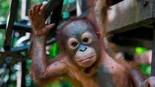 Download Baby Orangutan Learns To Climb After Being Shot: WILDEST ANIMAL RESCUES Video