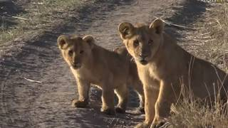 Download Aug 15 2017 - Sunrise- Angama Pride with James - Extended Clip- Well worth it to see the Cubbies Video