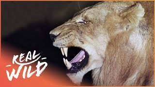 Download Predators In Peril [Big Cat Documentary] | Wild Things Video