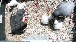 Download Hawk and Owl Trust Urban Peregrines Project Norwich Cathedral Video