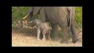 Download 10-23-2015 WildEarth SafariLive Sunrise - amazing elephant calf Video