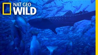 Download Why Whale Sharks Wait For This Full Moon Feast | Nat Geo Wild Video