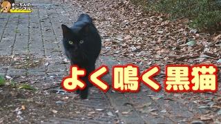 Download 【野良猫】よく鳴く黒猫【地域猫】 Video
