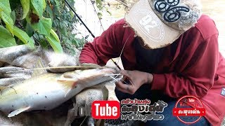 Download ตกปลากดเหลือง แม่น้ำโขง/หมายลับ Video