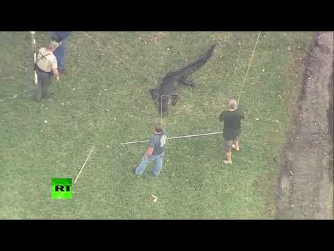 Another one bites the dust? Officers capture alligator who attacked man in Florida