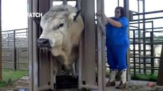 Download Primitive Intelligent & Modern Cow Farming Video