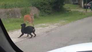 Download Deer vs. Dog Video