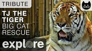Download TJ The Siberian/Bengal Tiger - Big Cat Rescue - Tribute Video