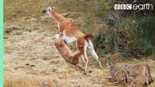 Download Puma takes on Guanaco 3 Times Her Weight | Seven Worlds, One Planet | BBC Earth Video