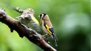 Download UK GARDEN BIRDS - Goldfinch feeding young Video