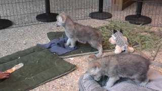 Download International Wolf Center - Projects and Pup Programs Video