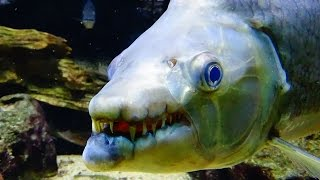 Download The Top 10 Most Dangerous Aquarium Fish (GIANT FANGS, POISONOUS MUCUS, ELECTRIC SHOCK, AND MORE) Video