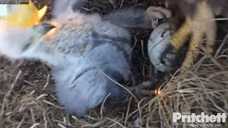 Download Southwest Florida Eagles - Food & Affection, All For E9 /January 12, 2017. (1) Video