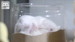 Download 寝うんこハムスター。【ハムスター/ジャンガリアン】/Hamster POPO which defecates while sleeping. Video