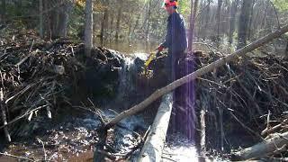 Download breaking the beaver dam Video