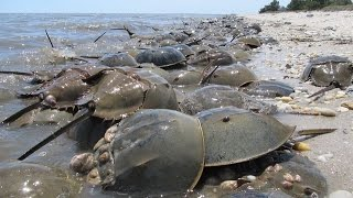 Download Fact About Horseshoe Crabs (Nature Documentary) Video
