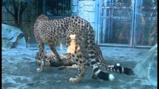 Download じゃれあうチーターっ仔Cheetah cubs Video