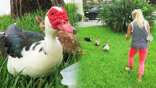 Download OUR NEW PET DUCKS! (Rescued) - Super Cooper Sunday #155 Video