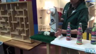 Download Philadelphia Zoo Rat Performs Obstacle Course Demonstration Video