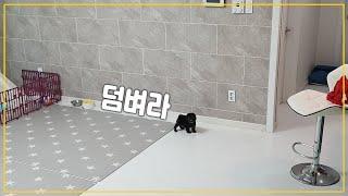 Download 입양 첫날, 집안을 장악해버린 새끼강아지 ㄷㄷ (밍순이 동생 실버푸들 개순이/Silver Poodle) Video
