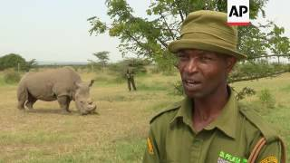 Download All hopes lie on the world's last male northern white rhino Video