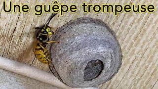 Download Une guêpe germanique trompeuse ... Video