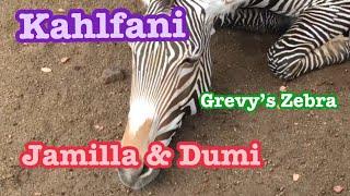Download Zebra 🦓Male Kalfani シマウマ カルファニくんは今日も頑張りますw Los Angeles Zoo ロスアンジェルス動物園 Video