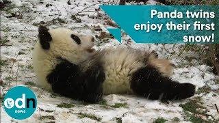 Download PANDA-monium as adorable twins enjoy their first snow! Video