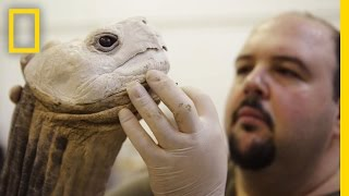 Download Life After Death: Extinct Animals Immortalized With Taxidermy | National Geographic Video