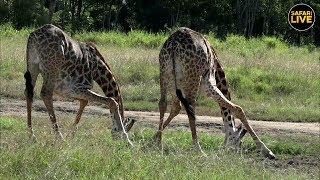 Download safariLIVE - Sunset Safari - April 18, 2019 Video