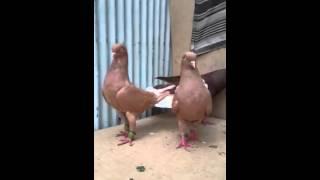 Download Sarı ve Kırmızı Gümüş Kuyruk Güvercinleri Video