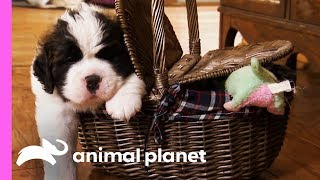 Download St. Bernard Puppies Pile On The Pounds In Their First Few Weeks Of Life! | Too Cute! Video